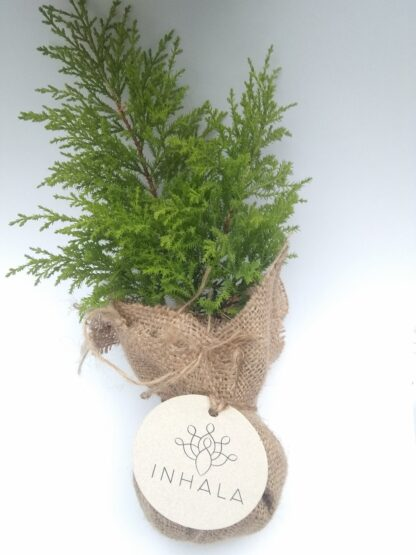 bonsai-pino